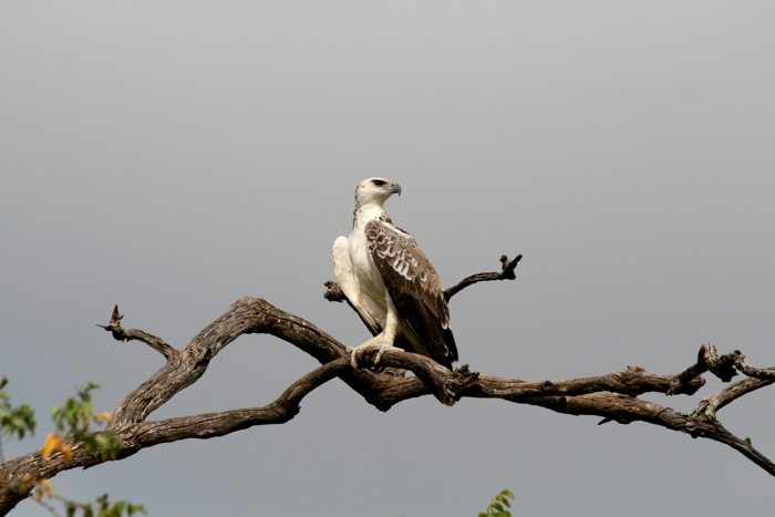 Martial eagle spotted in lengwe national park