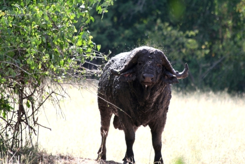 Old bull,lengwe national park
