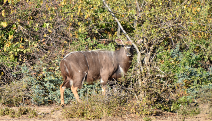 male nyala in a thicket